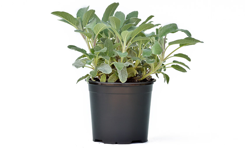 pianta di salvia a foglia larga axima in vaso 14 savini