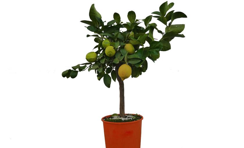 Pianta di limone 4 stagioni femminello carrubaro in vaso for Pianta di limone