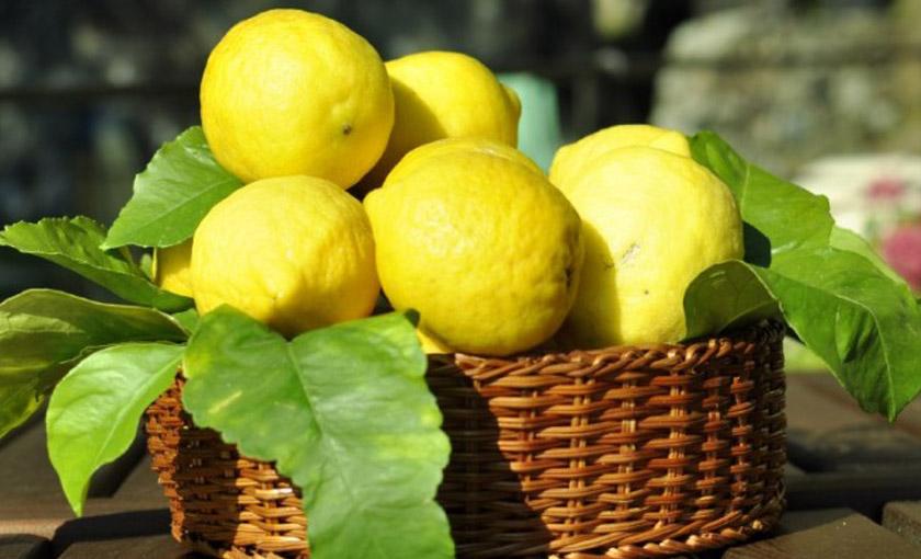 Pianta di limone sfusato di sorrento in vaso 20 cm for Pianta di limone