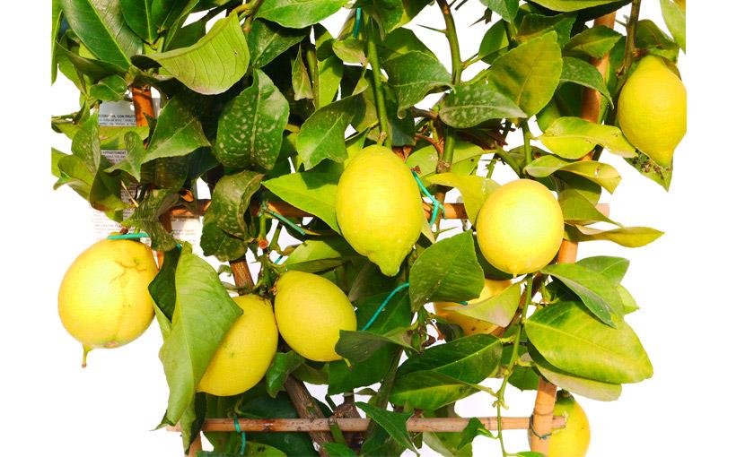 Pianta di limone lunario a spalliera in vaso 24 cm for Pianta di limone