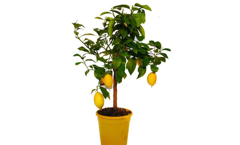 Pianta di limone lunario 4 stagioni in vaso 20 cm savini for Limoni in vaso