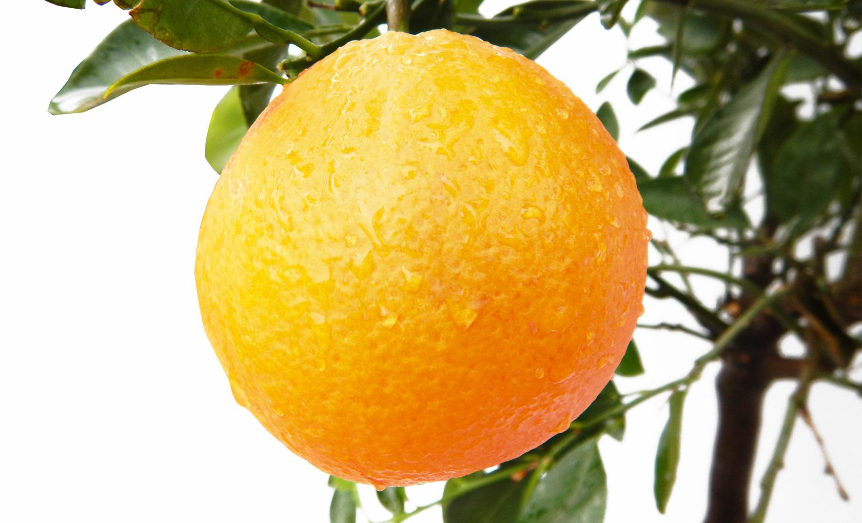Piante Da Frutto Nane pianta di arancio dolce alta 120-140 cm in vaso 28 cm
