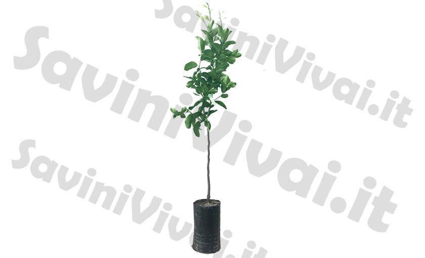 pianta-di-limone-in-fitocella-00.jpg