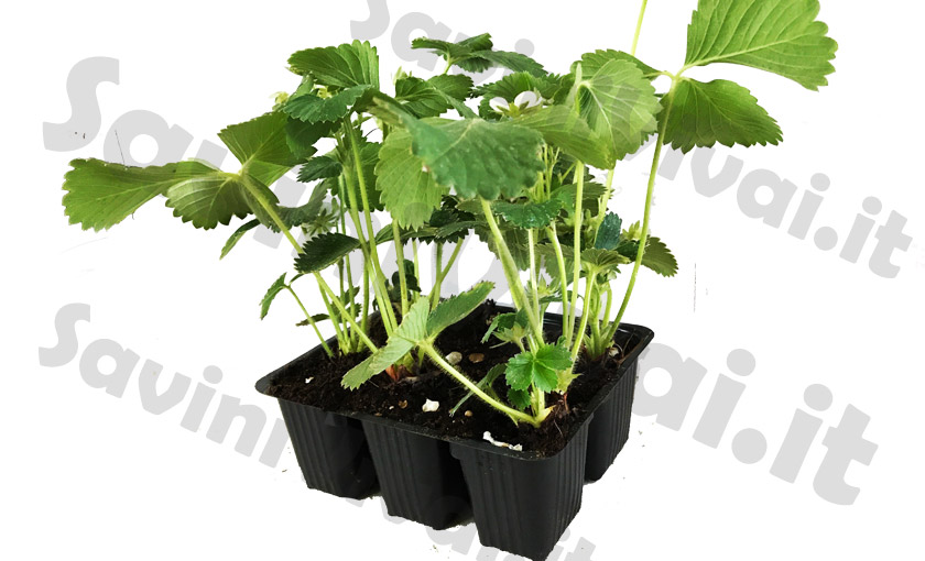 Vasi per fragole vendita with vasi per fragole vendita for Piante da orto vendita online