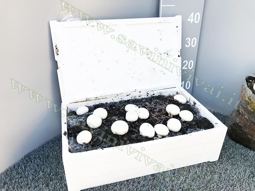 champignon-hortus-savinivivai_1.jpg