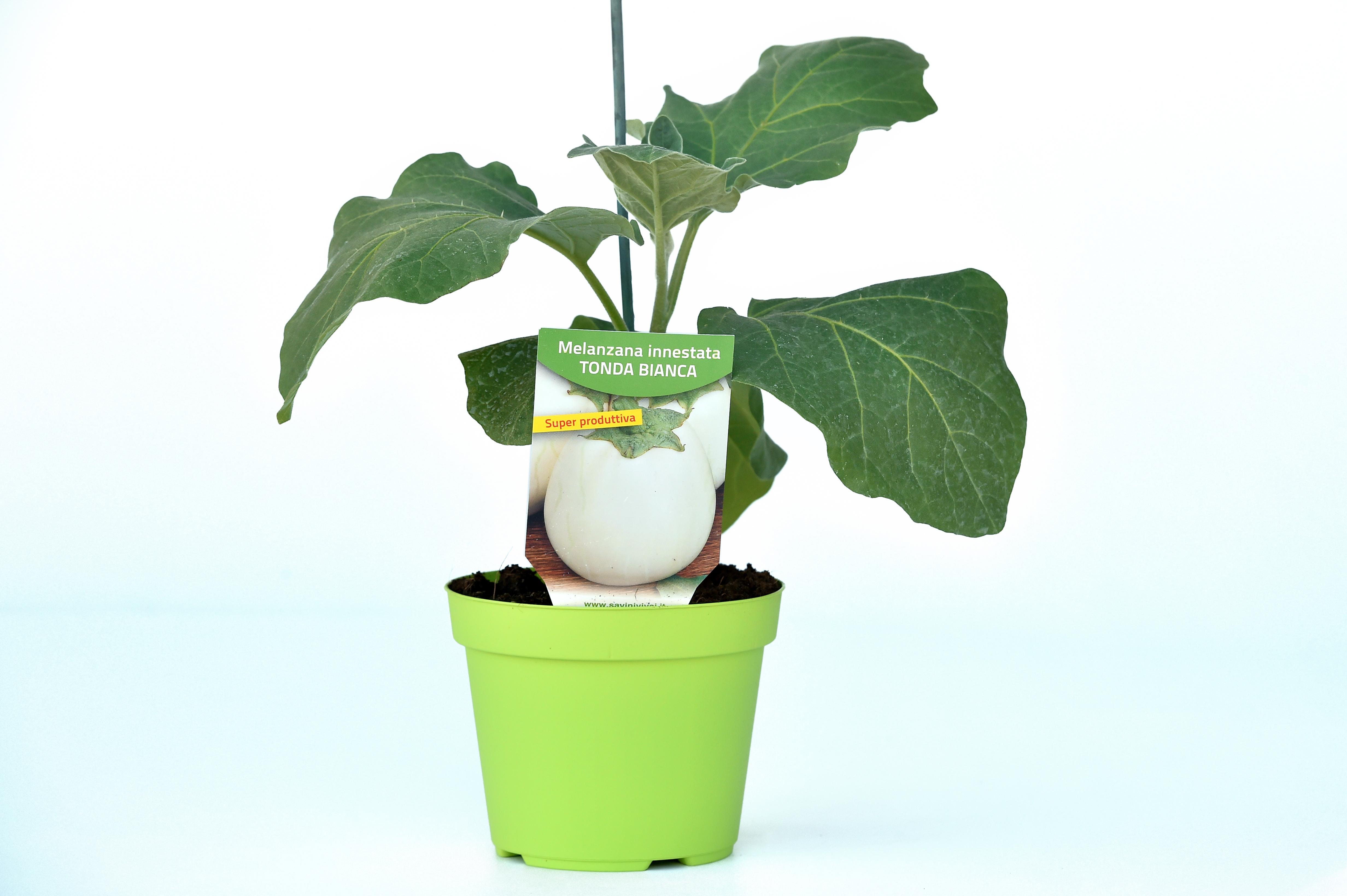 pianta-di-melanzana-bianca-savinivivai