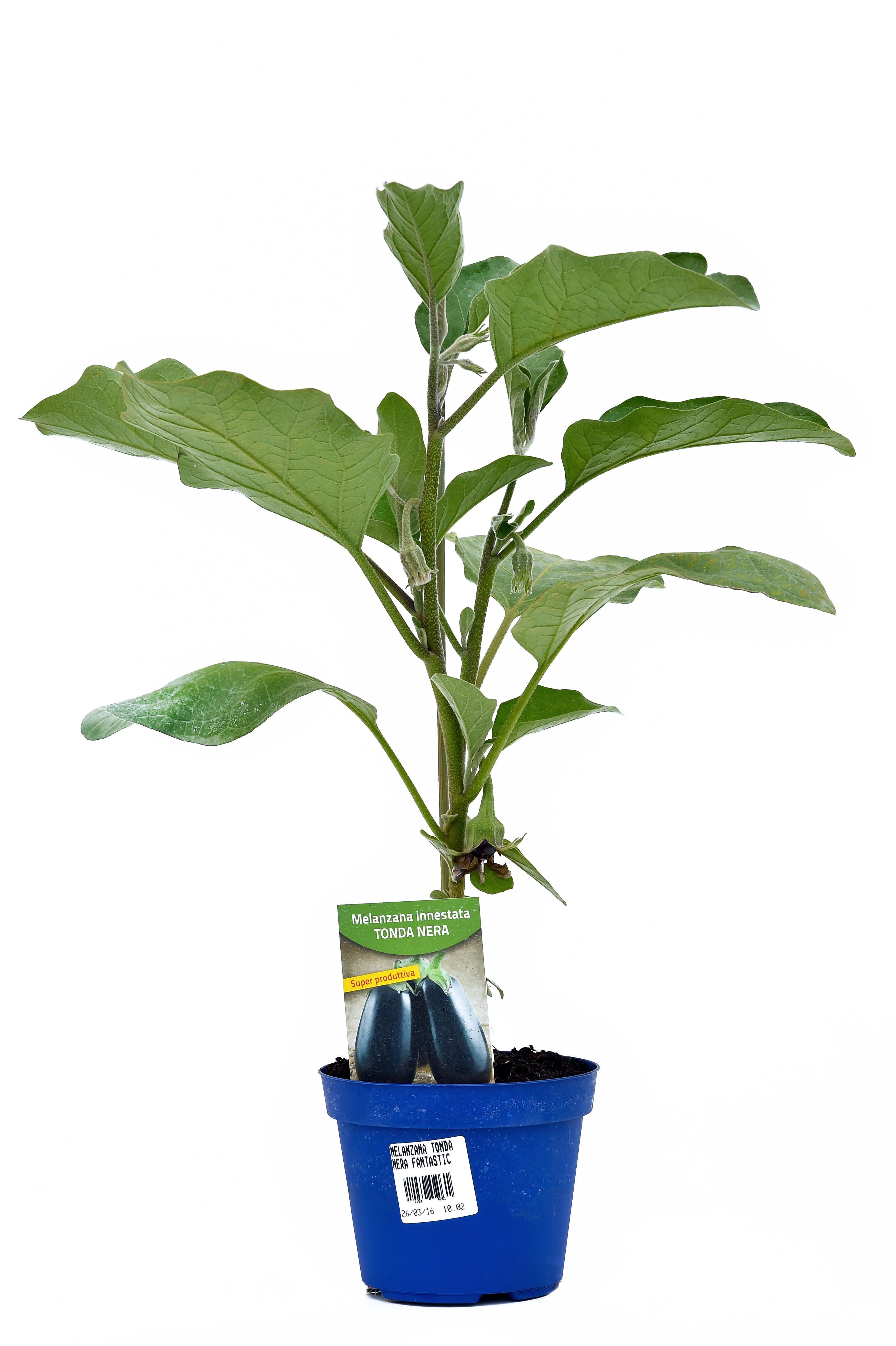pianta di melanzana innestata tonda nera agata f1 in vaso