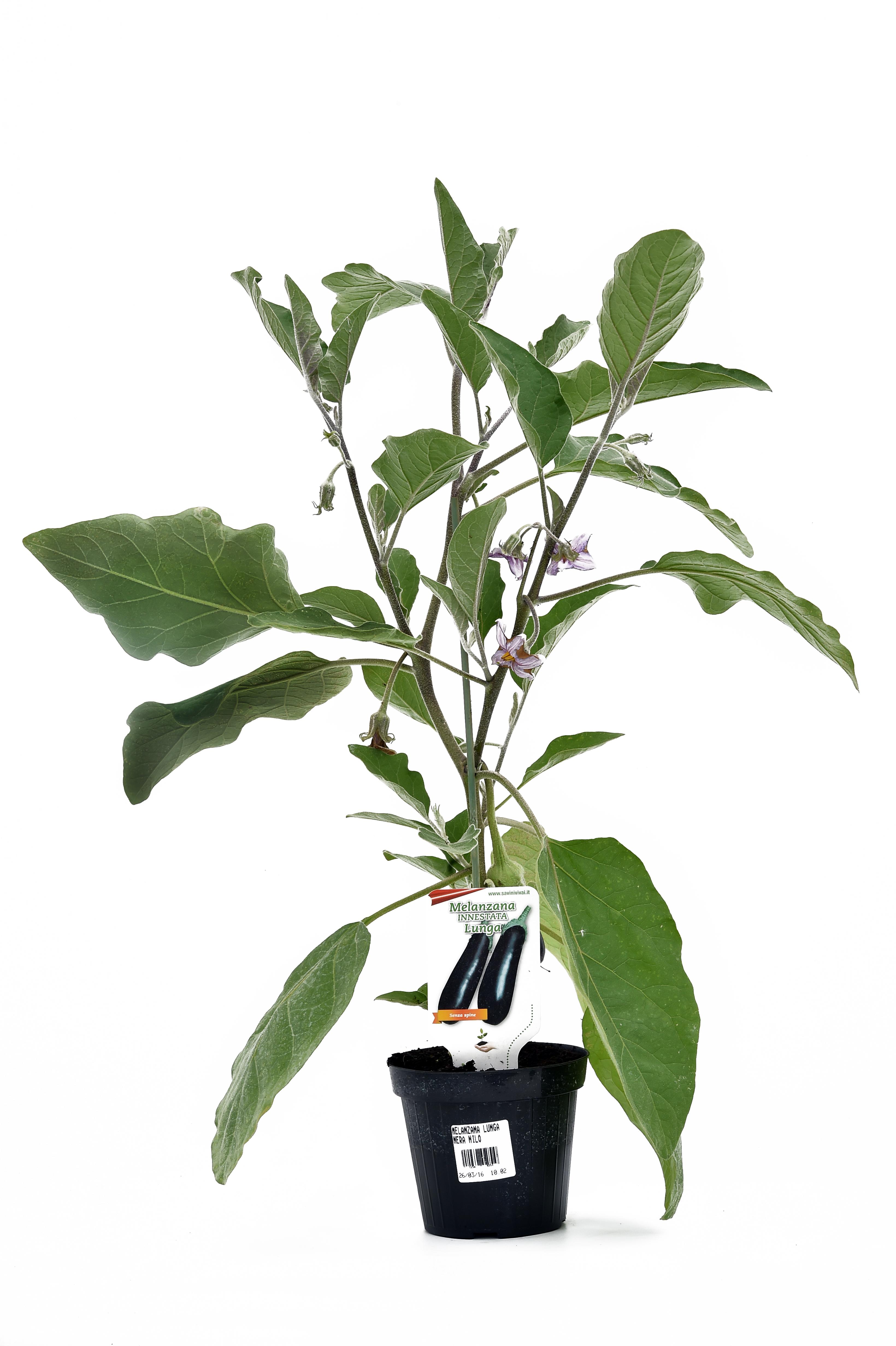pianta di melanzana innestata lunga nera nilo f1 in vaso