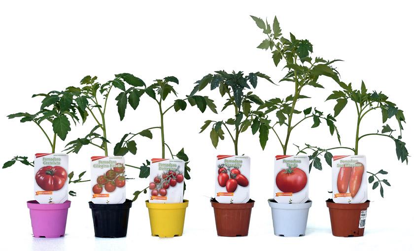 Piante di pomodoro datterino capriccio f1 in vaso 10 cm for Piante pomodori in vaso