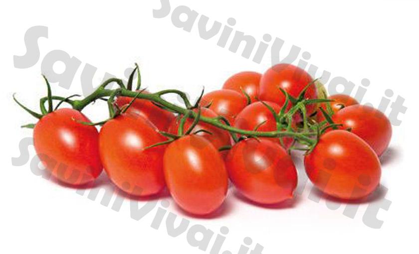 Piante di pomodoro piccadilly pixel f1 in vaso 10 cm for Piante pomodori in vaso