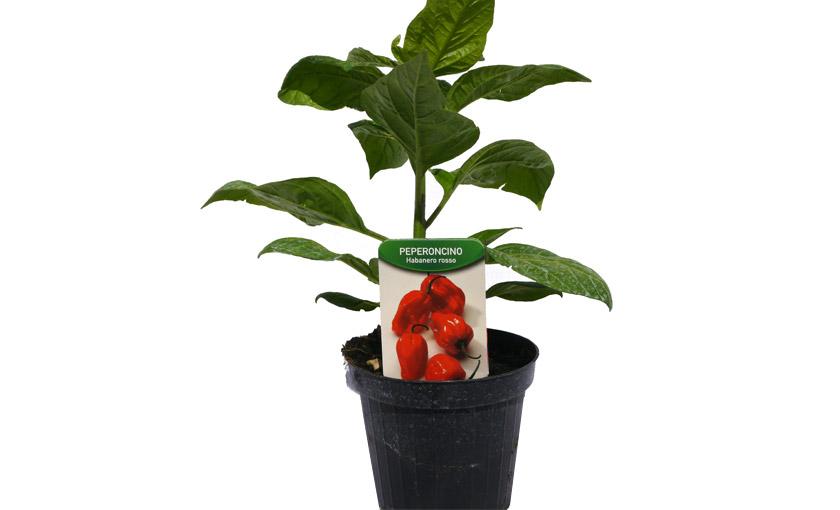 Immagine 2 pianta di Peperone Piccante Habanero Rosso.