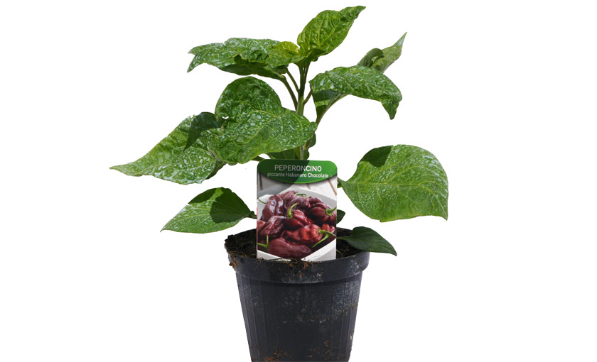 Immagine 2 pianta di Peperone Piccante Habanero Cioccolato.