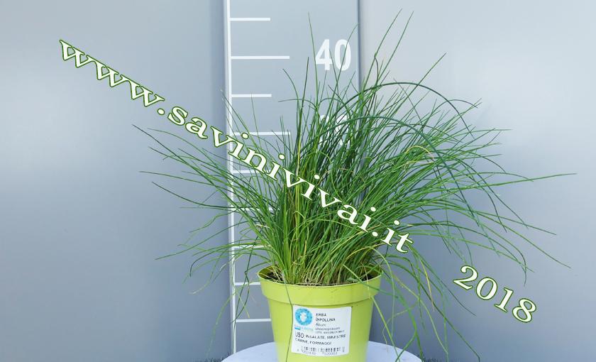 Piante Di Erba : Pianta di erba cipollina allium schoenoprasum l in aso