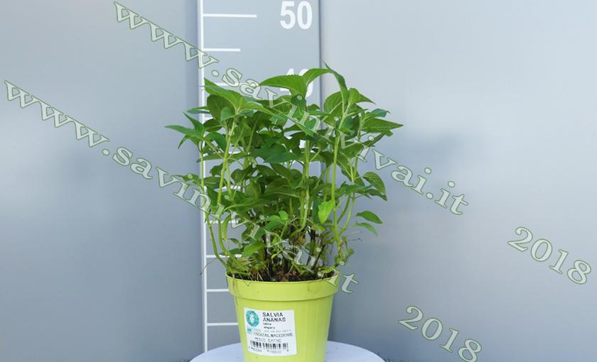 pianta-di-salvia-ananas-savinivivai2