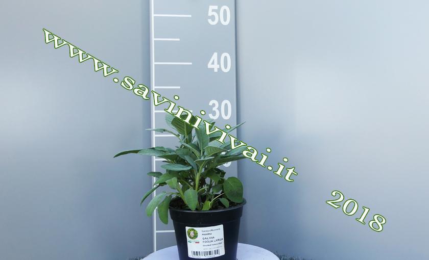 Pianta di salvia a foglia larga salvia maxima in vaso 25 for Piante a foglia larga da esterno