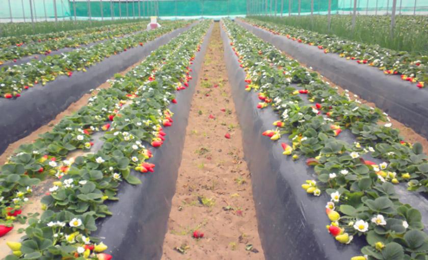 guida al trapianto delle piante di fragole unifere