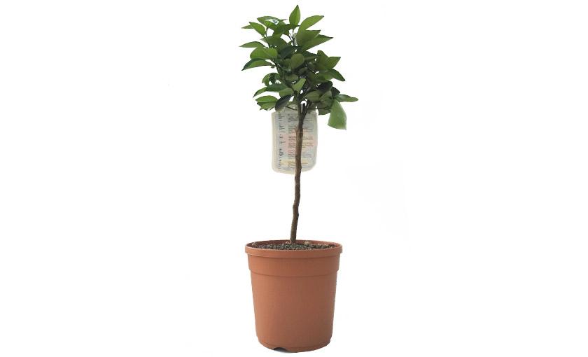 pianta-di-arancio-vaniglia-1.jpg