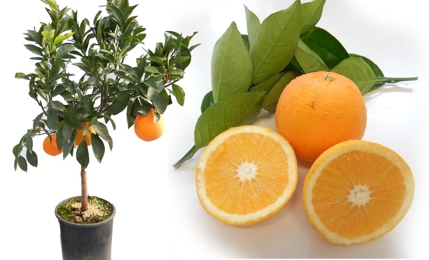 Piante Da Frutto Nane pianta di arancio navellina in vaso 20 cm - savini vivai di