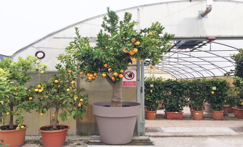 pianta-di-arancio-50-anni-polpa-gialla-washington-altezza-280cm-vaso-100cm