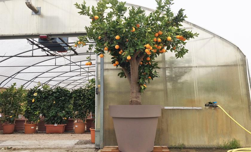 pianta di arancio in vaso pianta grande di arancio dolce a polpa gialla washington