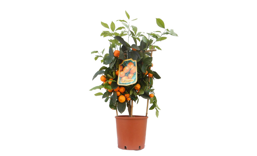 calamondino-in-vaso-20.jpg