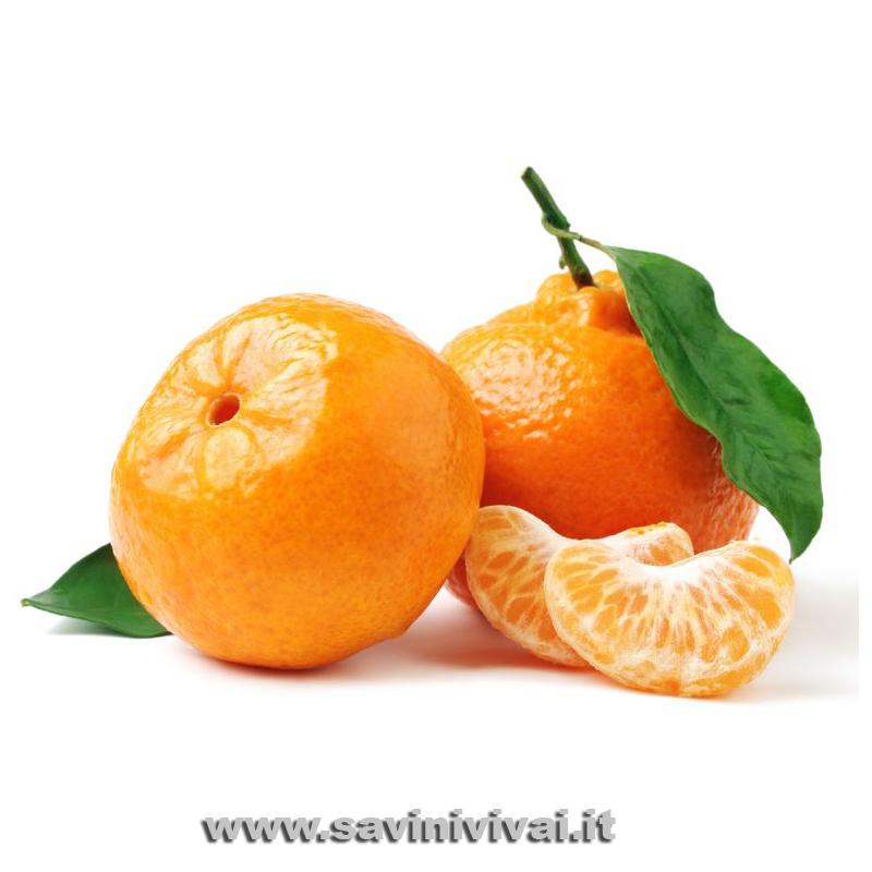Pianta di Clementine Comune Fitocella