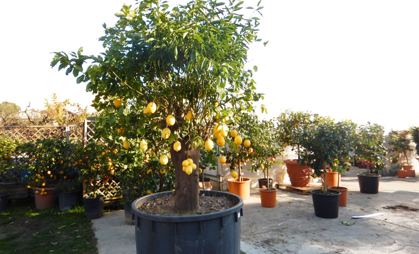 Pianta di limone grande 4 stagioni in mastello diametro for Pianta di limone
