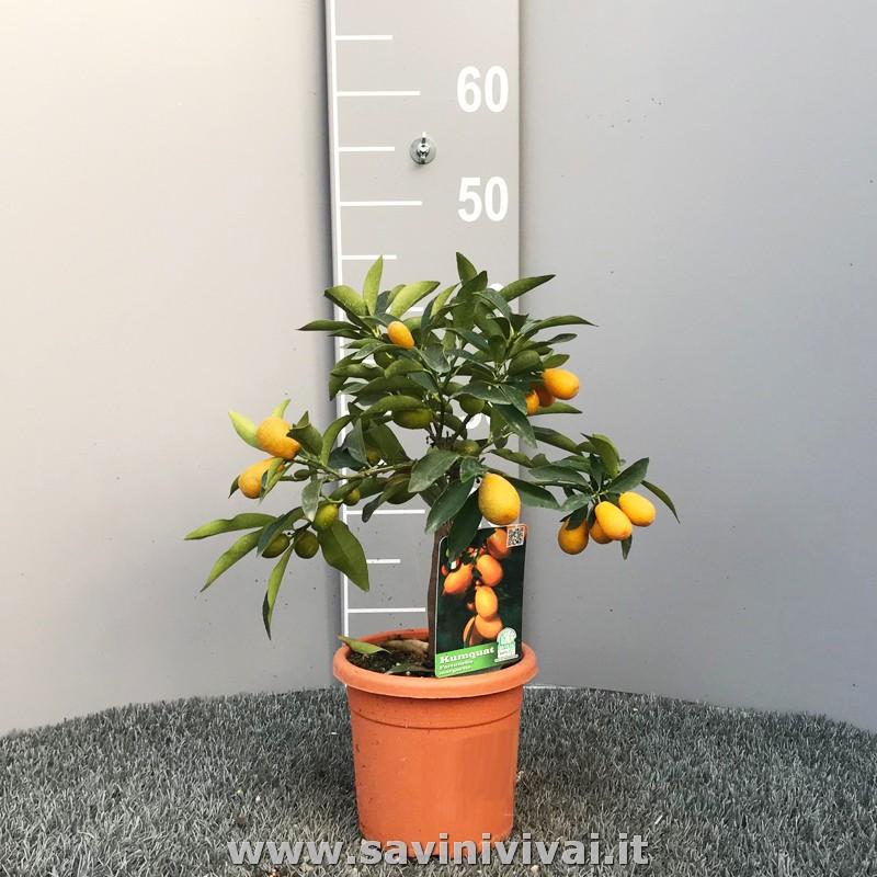 Fortunella Pianta di Mandarino cinese Kumquat vaso 20cm