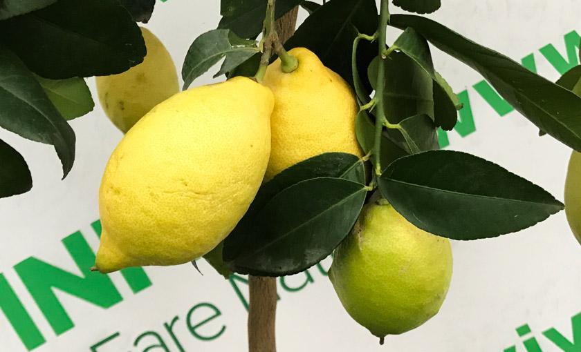 Pianta di limone lunario 4 stagioni alta 110 130 cm in for Pianta limone 4 stagioni