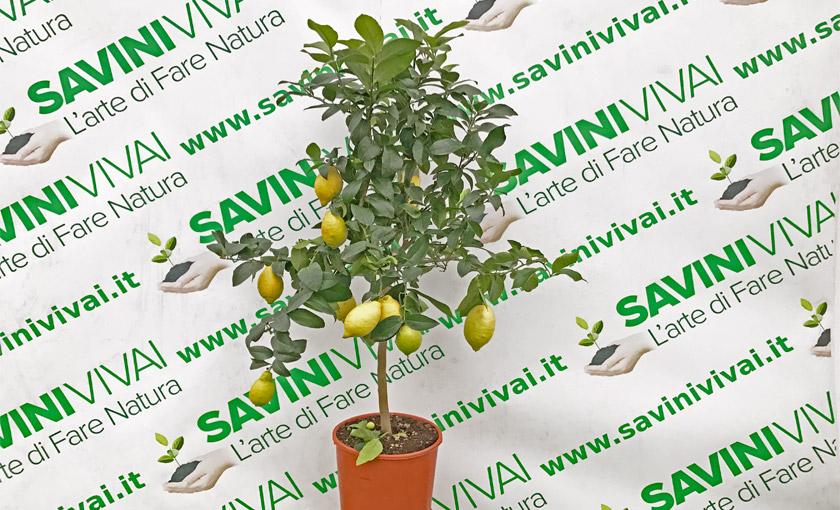 pianta-di-limone-carrubaru-in-vaso24.jpg