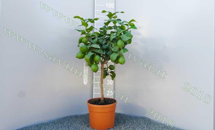 limone-carrubaro-pianta-di-agrum-2i.jpg