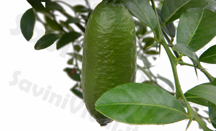 Pianta di limone caviale verde faustrime finger lime for Pianta di limone