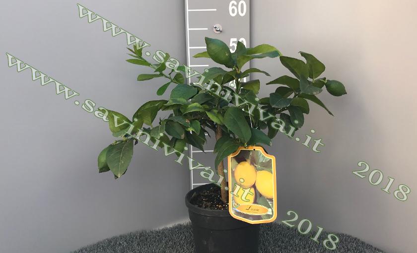 pianta-di-limone-in-vaso-18.jpg