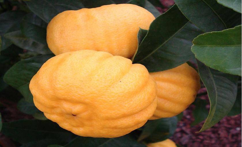 Vivaio Margine Rosso : Pianta di limone melarosa in vaso 20 savini vivai di savini stefano