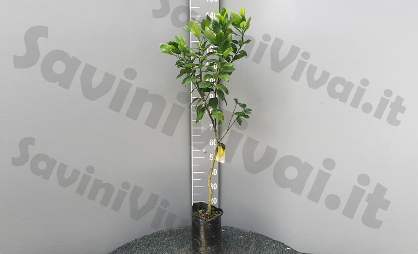 pianta-di-limone-lunario-piccolo.jpg