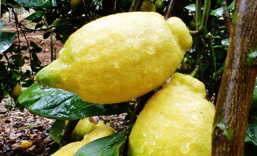 limone-Verna-in-fitocella.jpg