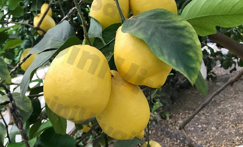 Pianta di Limone Zagara Bianca