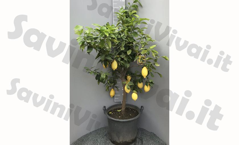 pianta-di-limone-grande-savinivivai