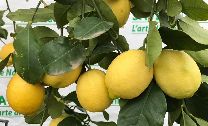 Pianta di limone 4 stagioni esemplare alto 180 200 cm in for Pianta di limone