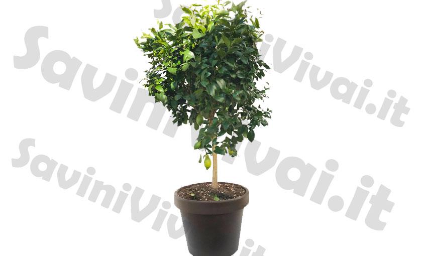 pianta-di-limone-lunario-in-vaso-55.jpg