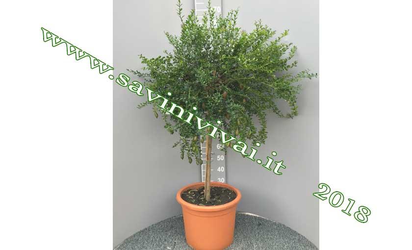 pianta-di-limone-caviale-Rosa-vaso-35.jp
