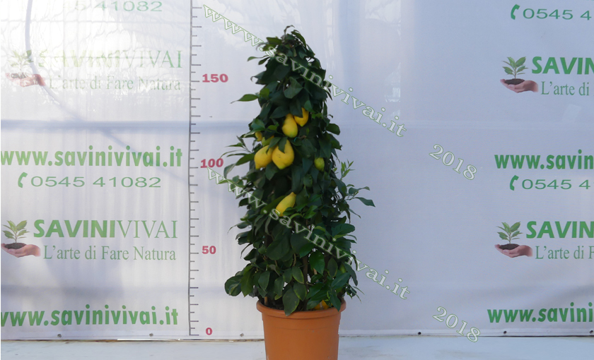 limone--a-piramide.jpg