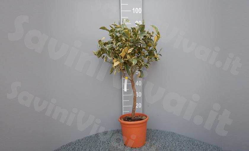 pianta-di-arancio-variegat2o.jpg
