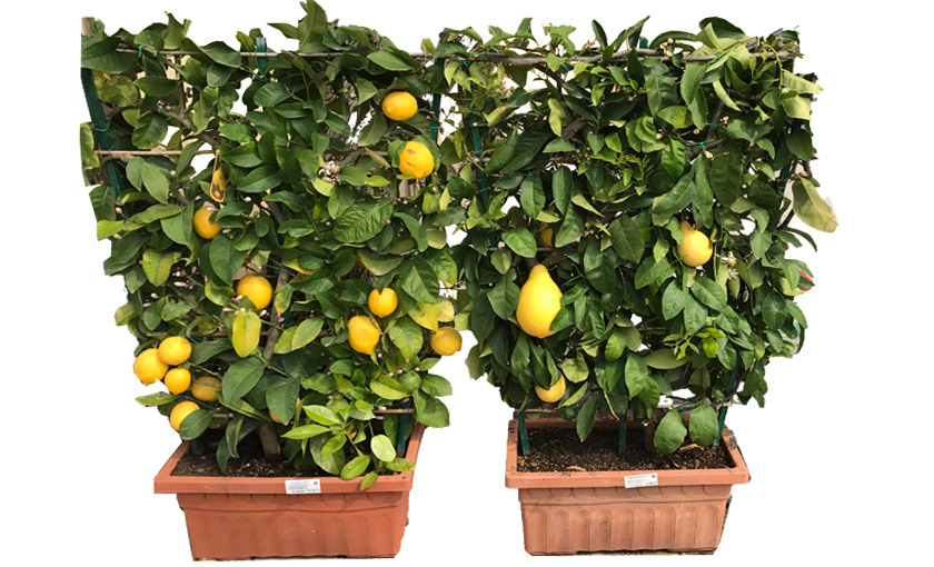 mandarino-tardivo-v-65.jpg