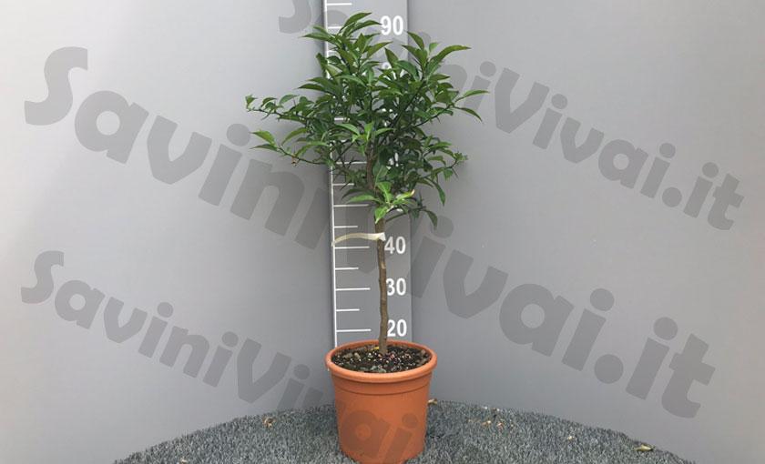 pianta-di-yuzu-in-vaso-20savinivivai.jpg
