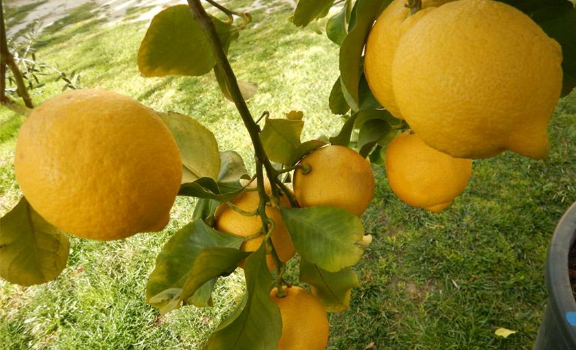 Pianta di limone 4 stagioni esemplare in vaso 65 cm for Pianta limone 4 stagioni