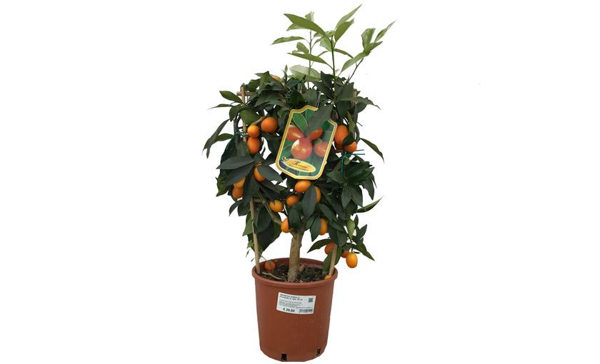 kumquat-a-spalliera.jpg
