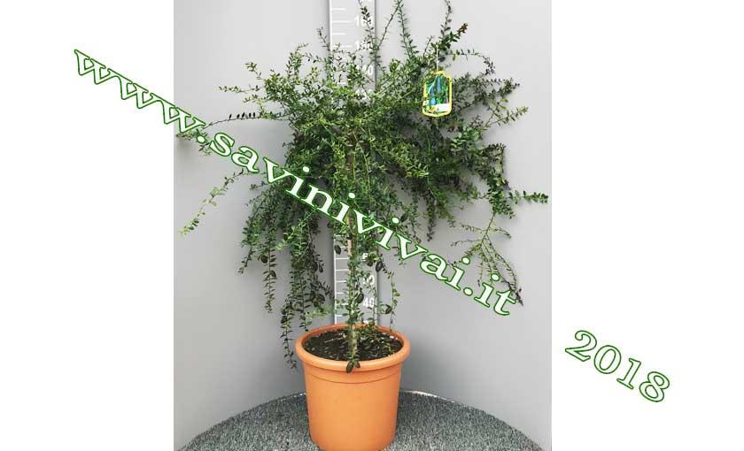 pianta-di-limone-caviale-verde-collette.