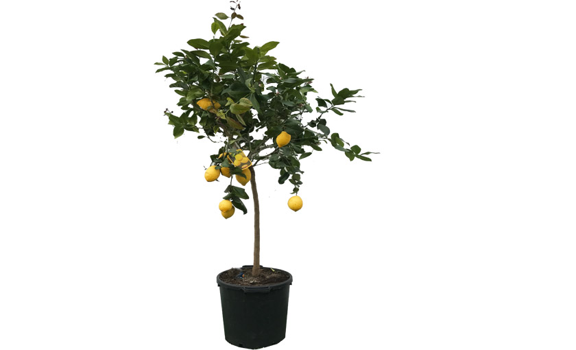Pianta di limone femminello carrubaru alta 150 170 cm in for Limoni coltivazione in vaso