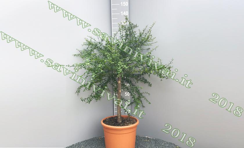 limone-caviale-rosa-22-pianta.JPG